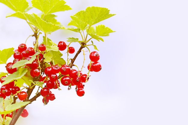 Niewyraźne letnie tło krzak czerwonej porzeczki w ogrodzie selektywnego skupienia się na jagodzie