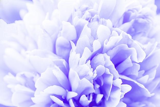 Niewyraźne pastelowe, liliowe płatki dalii makro, kwiatowy streszczenie tło. zbliżenie na kwiat dalii na tle, nieostrość,