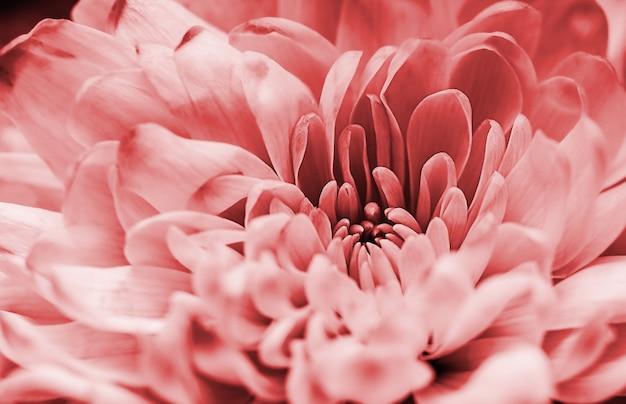 Niewyraźne pastelowe płatki dalii koralowej makro, kwiatowy streszczenie tło. zamknij się kwiat dalii na tle, nieostrość.
