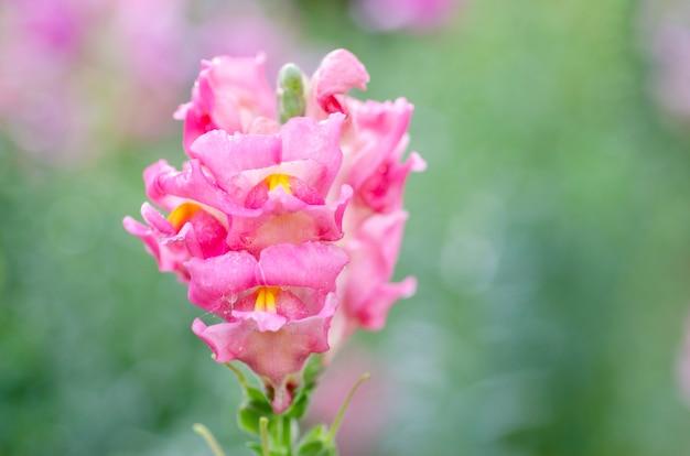Niewyraźne różowe kwiaty jako niewyraźne wzorzyste tła