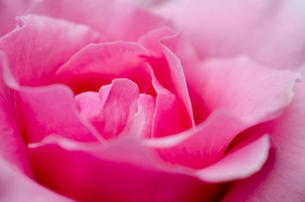Niewyraźne różowe róże z rozmytymi