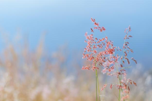Niewyraźne skupienie trawy rose natal z rozmytym brązowym i niebieskim tłem koloru z suchych liści i wody z jeziora.