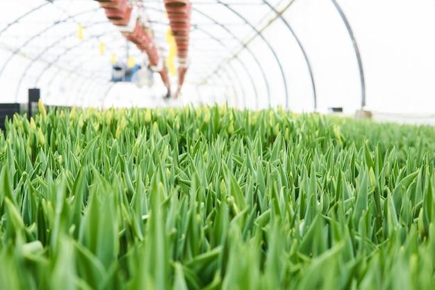 Niewyraźne wnętrze szklarni przemysłowej, w której rosną tulipany i rośliny ampeliczne