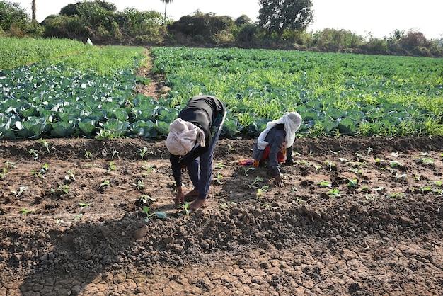Niezidentyfikowany indyjski pracownik farmy sadzący kapustę w polu i trzymając w rękach kilka małych roślin kapusty na farmie ekologicznej.