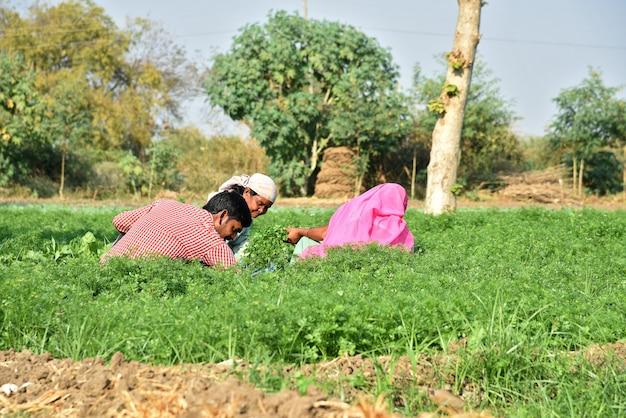 Niezidentyfikowany indyjski robotnik zbierający zieloną kolendrę i trzymający w rękach kilka w gospodarstwie ekologicznym.