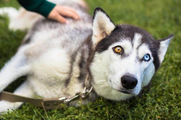 Niezwykła heterochromia oka. różne oczy mają husky