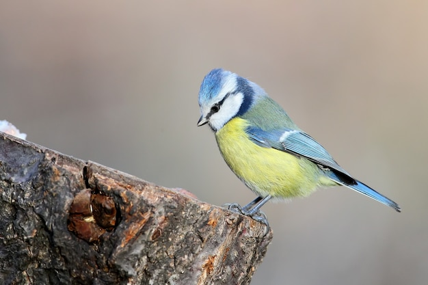 Niezwykłe bardzo bliska portret modraszki w ciepłym porannym świetle. wyraźnie widoczne są znaki identyfikacyjne ptaka i struktura piór.