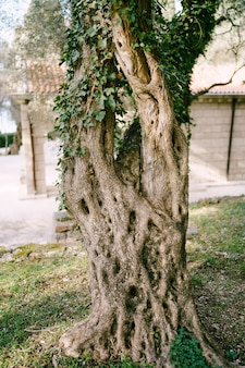 Niezwykły wzór kory drzewa oliwnego oplecionego bluszczem
