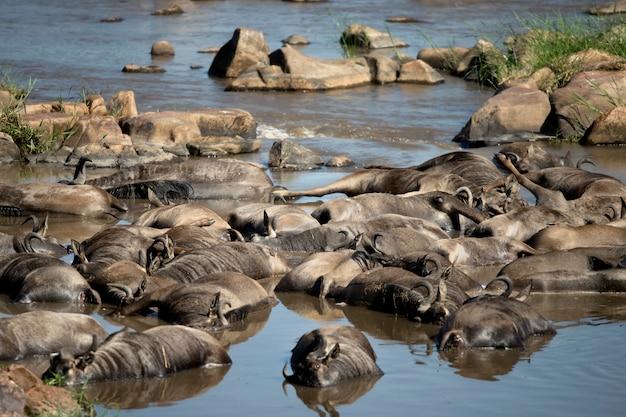 Nieżywy wildebeest w rzece, tanzania, afryka