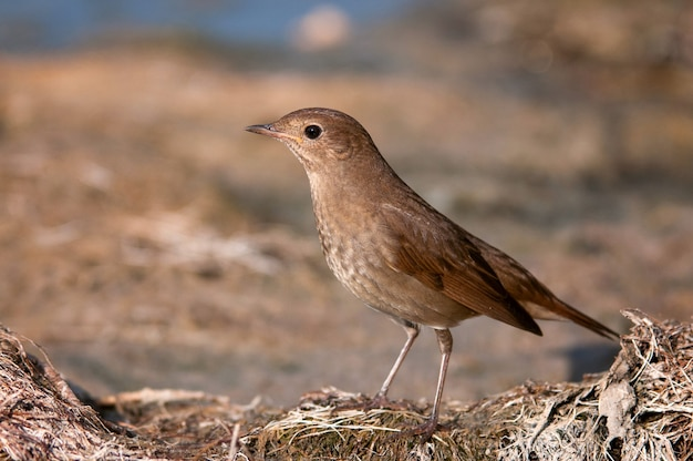 Nightingale luscinia luscinia w środowisku naturalnym