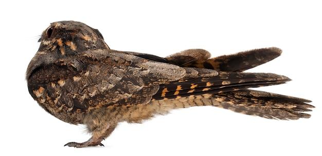 Nightjar europejski, lub po prostu nightjar, caprimulgus europaeus