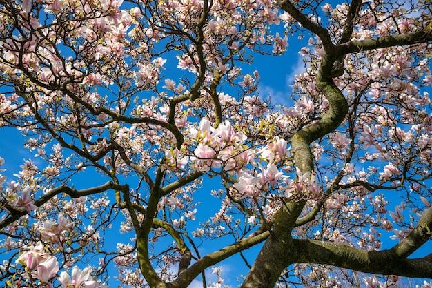Niski kąt gałęzi kwitnących wiśni na drzewie