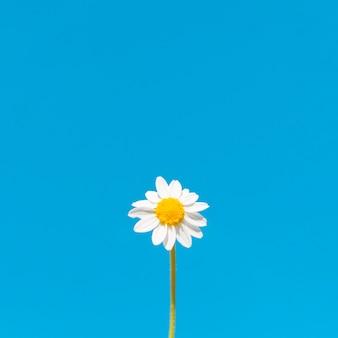 Niski kąt kwiatu rumianku z miejsca kopiowania