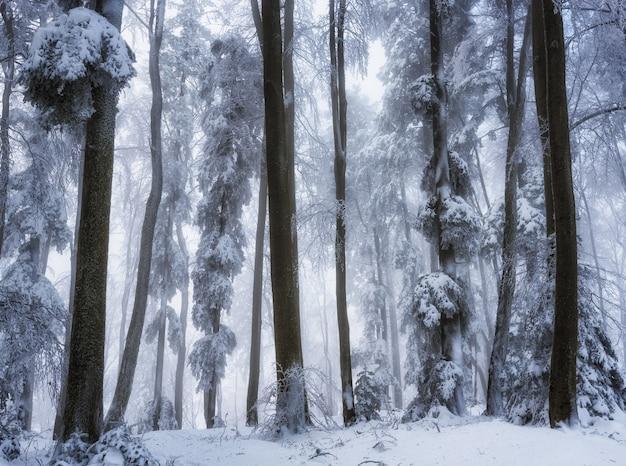 Niski kąt piękny strzał drzew w lesie w sezonie zimowym