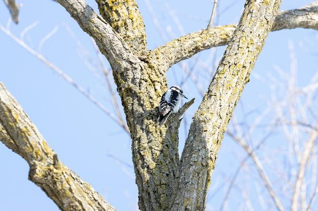 Niski kąt strzał dzięcioła na drzewie