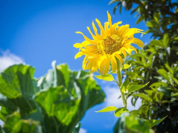 Niski kąt strzału pięknego słonecznika pod zapierającym dech w piersiach pochmurnym niebem