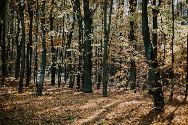 Niski kąt strzału pięknej leśnej sceny jesienią z wysokimi drzewami i liśćmi na ziemi