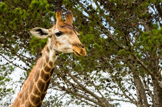 Niski kąt strzału pięknej żyrafy stojącej przed pięknymi drzewami
