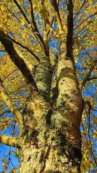 Niski kąt strzału pnia drzewa z żółtymi liśćmi jesienią na tle błękitnego nieba