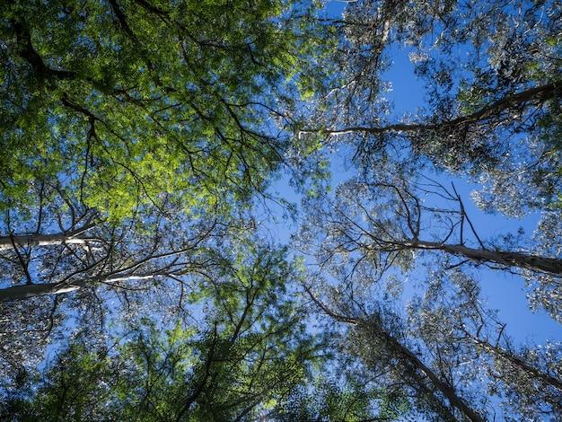 Niski kąt strzału wielu wysokich drzew o zielonych liściach pod pięknym błękitnym niebem