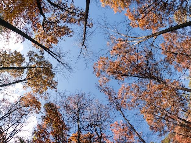 Niski kąt strzału wysokich drzew z liśćmi w kolorach jesieni w lesie pod błękitne niebo