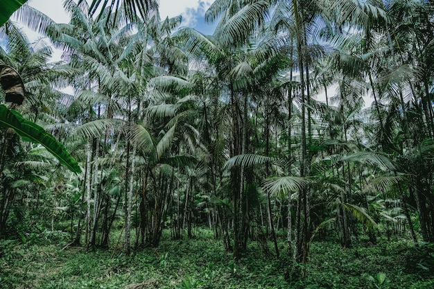 Niski kąt strzału wysokich palm w dzikim lesie w brazylii