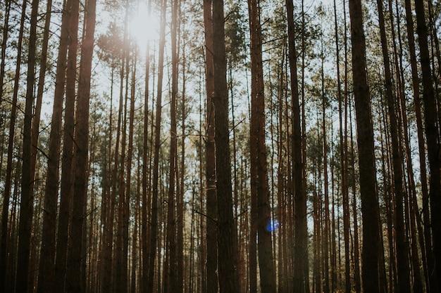 Niski kąt strzału wysokich świerkowych drzew jodłowych w lesie pod lśniącym słońcem w tle