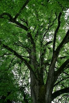 Niski kąt strzału wysokich zielonych drzew na wyspie mainau w niemczech