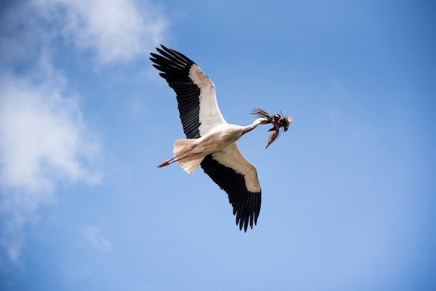 Niski kąt strzału z pięknym bocianem latającym w błękitne niebo, niosąc gałęzie drzew