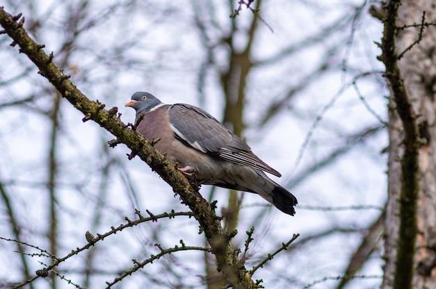 Niski kąt ujęcia gołębia leśnego siedzącego na gałązce drzewa