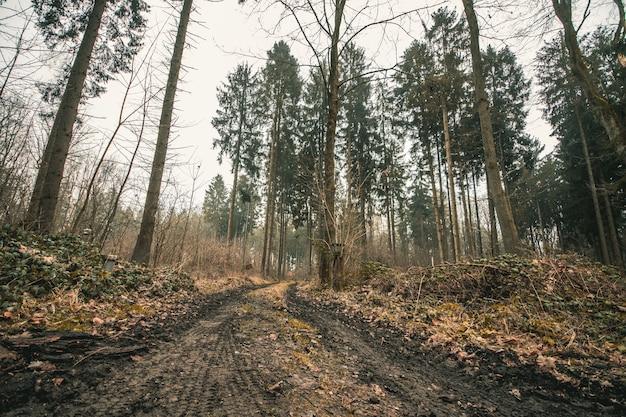 Niski kąt ujęcia leśnej drogi z ogromnymi drzewami i ponurym niebem