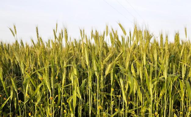 Niski kąt ujęcia pola pszenicy