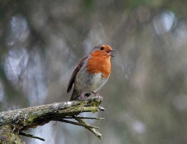 Niski kąt ujęcia szczęśliwego małego rudzika stojącego na gałęzi w lesie