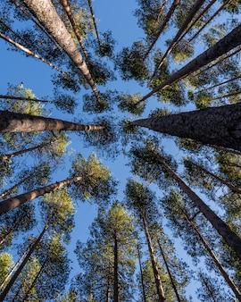 Niski kąt ujęcia wielu pięknych, wysokich drzew pod błękitnym niebem