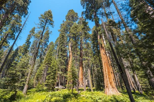 Niski kąt ujęcia zapierających dech w piersiach wysokich drzew pośrodku parku narodowego sekwoi w kalifornii, usa