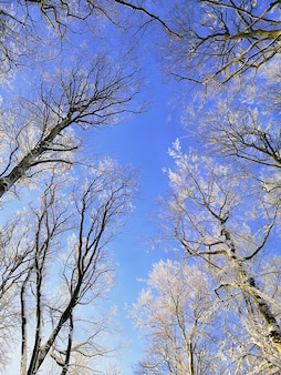 Niski kąt widzenia gałęzi drzew pokrytych śniegiem pod błękitnym niebem w larvik w norwegii