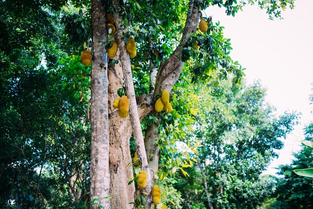 Niski kąt widzenia jackfruit wiszący na drzewie