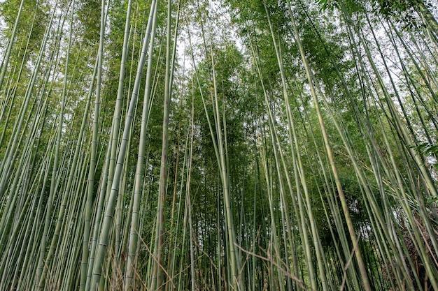 Niski kąt widzenia obrazu lasu bambusowego w arashiyama w japonii