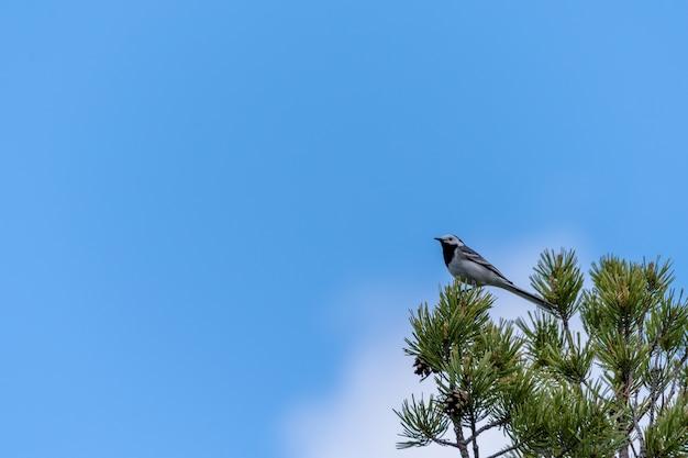 Niski kąt widzenia pliszki grzbietowej stojącej na gałęzi sosny w słońcu