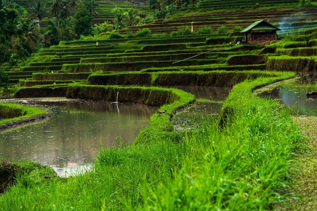 Niski kąt widzenia tarasy ryżowe jatiluwih w słońcu na bali w indonezji