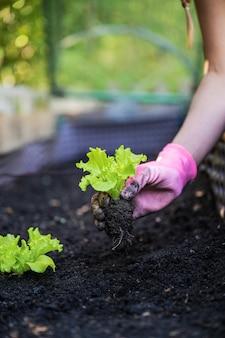 Niski kąt zbliżenie widoku kobiecej dłoni na sobie różowe rękawiczki ogrodnicze, sadzenie sadzonek sałaty wiosennej w żyznej glebie.