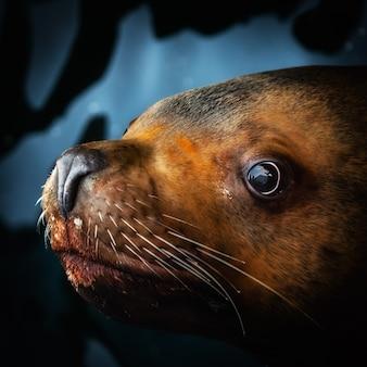 Niski klucz kwadratowy portret słodkiego lwa morskiego lub północnego lwa morskiego w wodzie i patrząc na kamerę looking