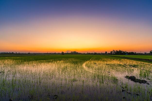 Niwa piękne zielone pole lub kukurydzy w azji rolnictwa kraju zbiorów z zachodu słońca na tle nieba.
