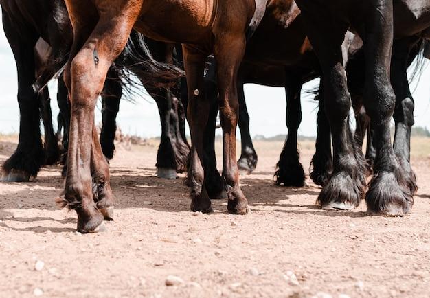 Nogi brązowych i czarnych koni
