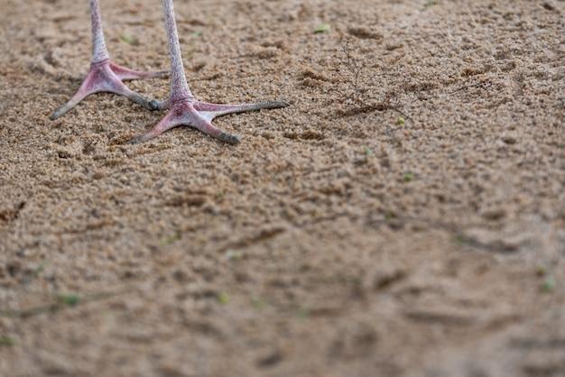 Nogi sandaczy, ibis mycteria, chodzenie po piasku plaży, pozostawiając ślady stóp.