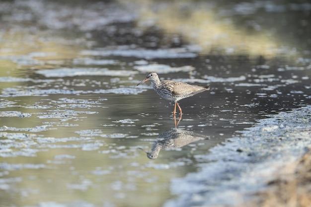 Nomadic common redshank tringa totanus