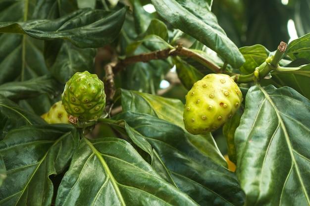Noni lub serowa owoc na roślinie