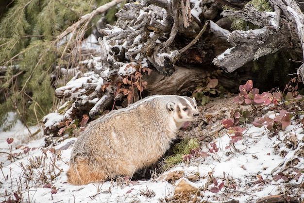 North american badger in the snow 2