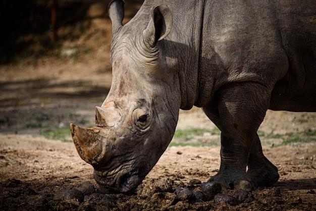 Northern white rhino z southern white rhino, kenia