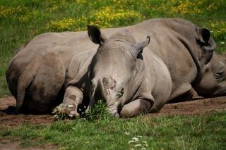 Nosorożce duże